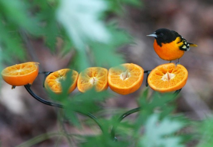Baltimore Oriole are particularly interested in oranges. Photo: Deborah Jean Cohen