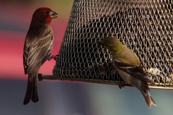 House Finch and Goldfinch. Not so easy to ID if not in breeding plumage. Photo:: Sarowan.