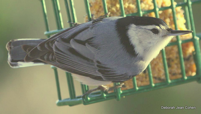 White-breasted Nuthatch on suet. Deborah Jean Cohen