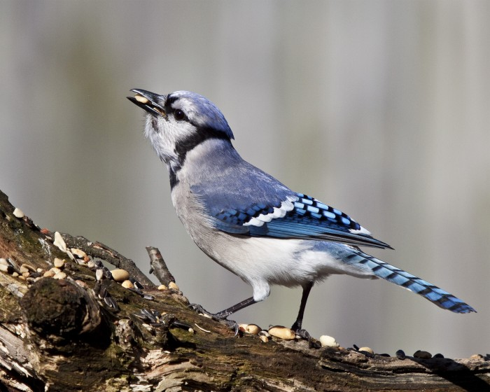 Blue Jay by Linda Pizer