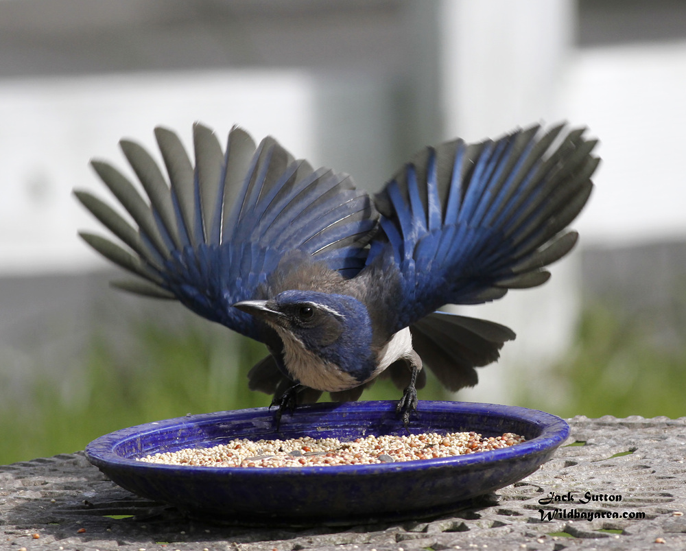 Scrub Jay. Jack Sutton - Feederwatch
