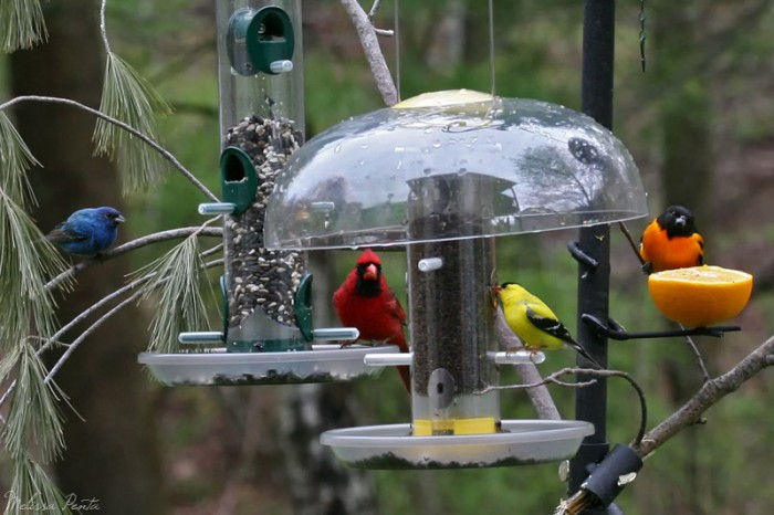 Goldfinch, Cardinal, Blue Bunting, Baltimore Oriole Melissa Penta - bachelors Feeder Watch