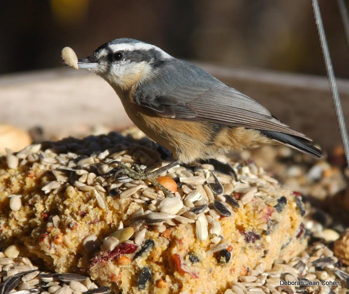Red-breasted Nuthatch on the world's best suet.