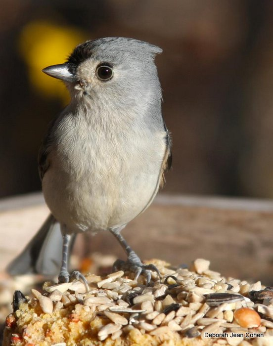 Tufted Titmouse on suet - Deborah Jean Cohen.