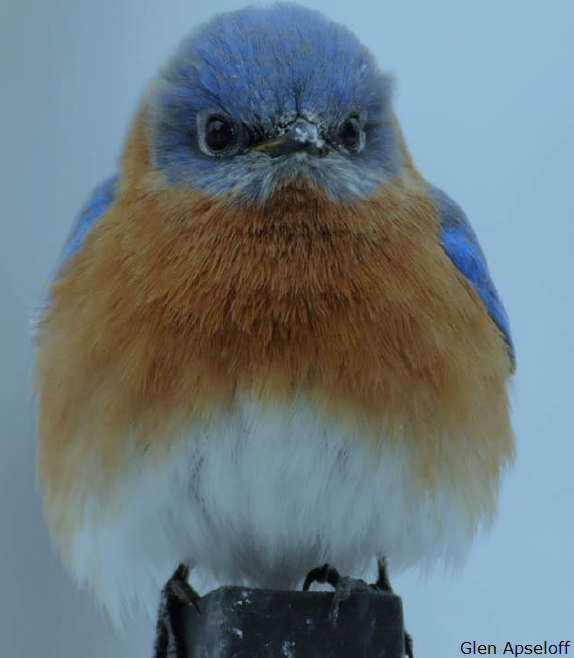 Eastern Bluebird Glen Apseloff