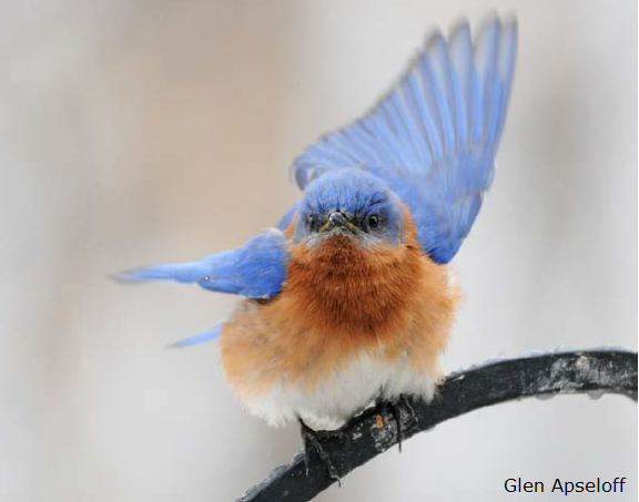 Eastern Bluebird by Glen Apseloff