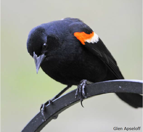 Red-winged Blackbird Glen Apseloff
