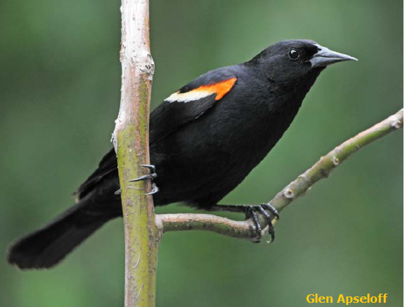 Red-winged Blackbird male Glen Aspeloff